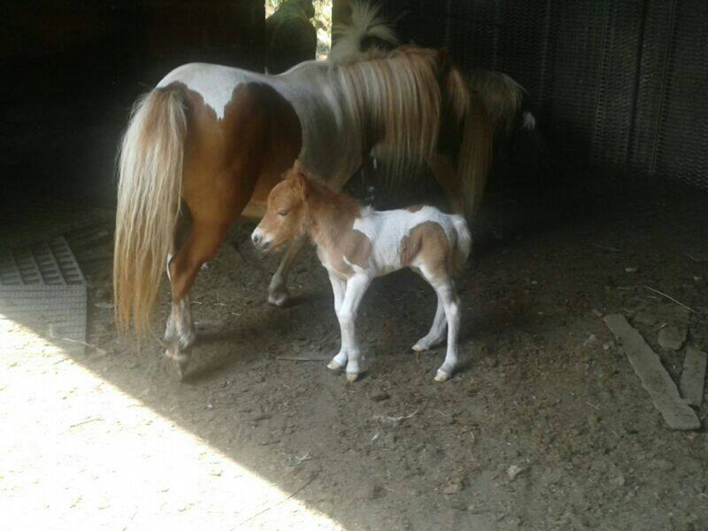 PULEDRO pony
